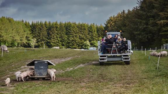 Tilfredse grynt fra grise med krølle på halen blandede sig med glade barnestemmer i selskab med forældre og bedsteforældre, der søndag den 26. maj besøgte 11 økologiske svinebedrifter landet over til Sofari.