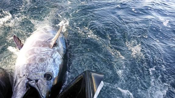 Med priser i ti tusind kroners klassen, hører tunen til en af verdens mest eftertragtede spisefisk. Du kan komme helt tæt på den eftertragtede fisk, som igen er begyndt at dukke op i de danske farvande.