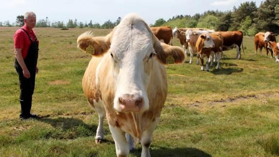 Forleden mistede Per Nielsen en kalv, i hvad han selv tror var et ulveangreb. Nu ærgrer han sig over, at de råd, han efterfølgende fra Naturstyrelsen, har gjort det umuligt at tage en DNA-prøve.