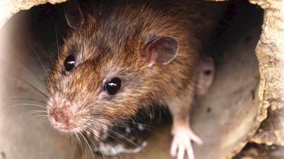 Med hundeførere og særligt udviklede digitale og giftfrie fælder melder HedeDanmark sig ind i kampen mod rotter og andre skadedyr.