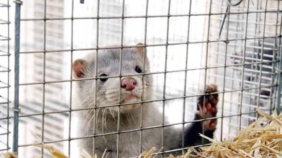 Det er stadig hårde tider for danske minkavlere. Men på den seneste minkauktion hos Kopenhagen Fur gik det bedre end frygtet.