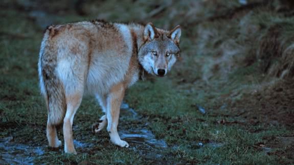 Der er ikke kun én hanulv i Midtjylland, men faktisk to. Og der betyder ifølge en pressemeddelelse fra den officielle ulveovervågning, at man skal regne med, at den ene vandrer videre til et andet sted. Hvis den da ikke allerede har gjort det.