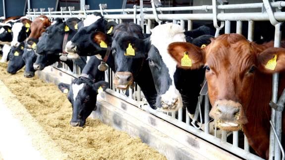 Tilsætning af tang og alger i kvægfoder kan sænke udledningen af metan fra køer dramatisk, viser et australsk forskningsprojekt.