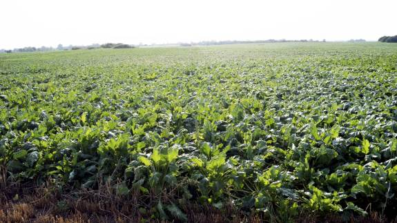 Kontrakttegning på roer til kampagnen 2020 er slut, men Agricenter Danmark kan godt bruge roer fra yderligere 2.000 hektar.