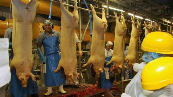 Selvom der mod forventning er kørt færre svin gennem Ticans slagteri i Thisted i år, bliver kapaciteten de kommende måneder opgraderet til at kunne klare 300.000 flere slagtninger på årsbasis.