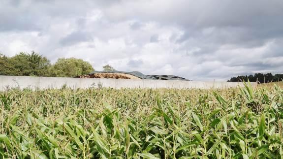 Råger er et stort problem i mange kvægbrug, og konsulenter opfordrer til regulering af bestanden.