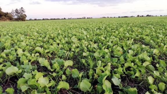 Det kan både give bøde og træk i den grønne støtte, hvis efterafgrøderne ikke er etableret efter reglerne.