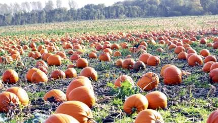 Siden 2015 er arealet af græskarmarker steget med næsten 50 procent. De store orange græskar ender både som dekorative lanterner i fejringen af Halloween og i køkkenet, hvor de indgår i madlavningen.