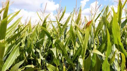 Analyser fra årets majshøst viser, at flere kvægbønder bør turde at tage chancen og høste deres majsplanter tidligere, mener kvægchef hos Vestjysk Landboforening.