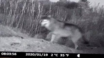 Vildtkamera har formentlig fanget billede af ulv, der ifølge ulve-redaktør har opholdt sig i Nordjylland siden 2017.