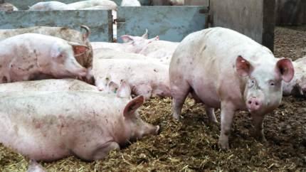 Det er ikke altid indlysende, hvad der tjener dyrevelfærden bedst. Og den må ikke spolere økonomien, siger sjællandsk svineproducent om blandt andet halekupering og kastrektion.