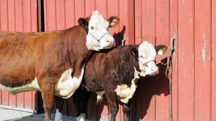 Agrovi tilbyder et begynderkursus til landmænd, der overvejer at starte en kødkvægproduktion eller måske lige er startet op.