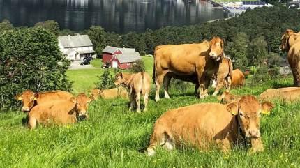I blandt andet Norge, Australien og USA bliver der brugt virtuelt hegn til at holde besætningen inde. Det er endnu ikke lovligt i Danmark, men kvægrådgiver ser stort potentiale.