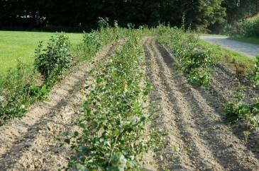Gamle læhegn vil snart være sprunget ud og dække for overblikket. Og nye planter bliver udsolgt om et par måneder, siger plantningskonsulent hos HedeDanmark.