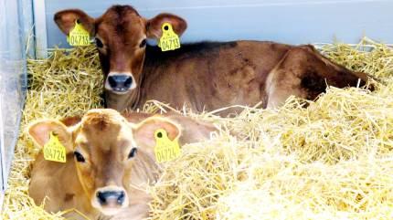 Fødevarestyrelsen har åbnet op for et nyt dyrevelfærdsmærke, hjerteordningen. Det stiller en række krav til producenterne, blandt andet når det gælder opstaldning af kalve.