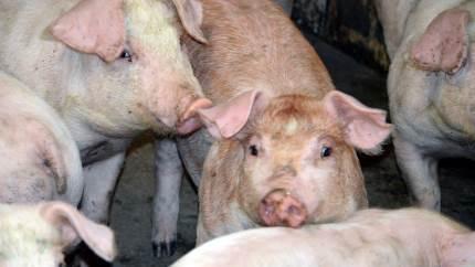 Corona-situationen har presset svinenoteringen et par kroner ned, og det betyder også et mindre fald i slagtesvinenes optimale slagtevægt.