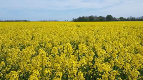De nye krav om øget areal med efterafgrøder, der gælder fra kommende efterår, lægger yderligere pres på landmændene, der går en meget travl august måned i møde. Reglerne sætter blandt andet rapssåningen under pres og gør, at mange landmænd i højere grad har brug for sorter, der er hurtigstartende.
