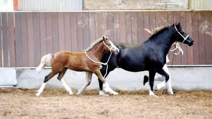 Der tilbydes besigtigelse og mærkning med mikrochip af heste og ponyer i forbindelse med de to følskuer der afholdes på Fyn i august. Dansk Varmblod gør dog opmærksom på at årets følskuer er lukket for publikum grundet COVID-19.