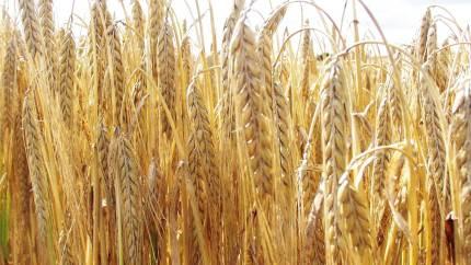 Hussam Nour-Eldin, Københavns Universitet, er leder af et forskerhold, der netop har modtaget en bevilling på 10 millioner kroner. Pengene skal gå til grundforskning, der i fremtiden kan bidrage til at højne udbyttet af kornafgrøder og gøre dem mere næringsrige.