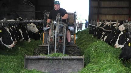Køerne elsker det friske græs på foderbordet i Østhimmerland ved Lars Sommer. Et foderkoncept, som gerne skal give en lavere fremstillingspris og måske et hak opad på ydelsen.