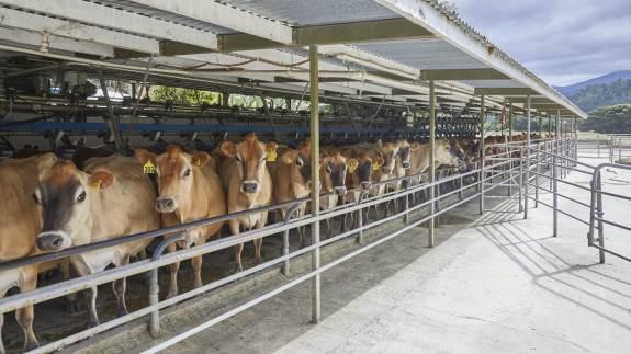 Landbruget i New Zealand mangler lige nu 5.000 medarbejdere. De er på grund af corona strandet i deres hjemland, da de tog hjem på ferie inden virussen brød ud. Danske Lone Sørensen fortæller her om situationen for  mælkeproducenterne.
