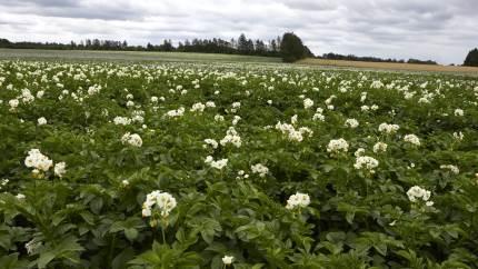 Med kun 4.000 tilmeldte hektarer undersøger initiativtagerne de sidste muligheder for at etablere en kartoffelmelsfabrik frem til den ekstraordinære generalforsamling den 12. november.