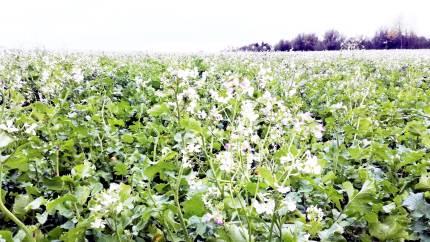 Nyt lokalt pilotprojekt i Mariagerfjord Kommune viser, at man gennem en mere målrettet placering af efterafgrøder kan reducere arealet med efterafgrøder og stadig opnå samme miljøgevinst i fjorden.