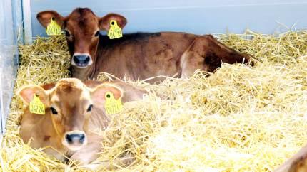 Efteråret er over os, og inden længe kommer vinteren. Med den kommer også de kolde træk-vinde i stalden, som kan resultere i forkølelse og lungebetændelse hos kalvene.
