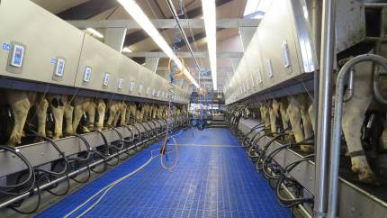 Stor sydvestjysk mælkeproducent gik fra en malkekarrusel til et 2x24 side by side malkeanlæg. Teknikken er monteret i en lun og tør kælder - afskærmet fra malkestaldens fugtige miljø.