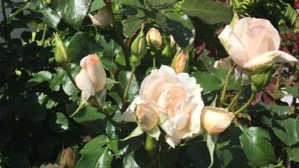 En rose under juletræet er nok lidt utraditionelt, men ikke desto mindre en god ide som modtageren kan glæders over i flere år frem, lyder det fra Roses Forever ApS