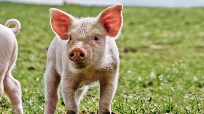 Der er udsigt til flere økologiske grise i Danmark, efter at regeringen og Dansk Folkeparti er blevet enige om at øge det økologiske arealtilskud.