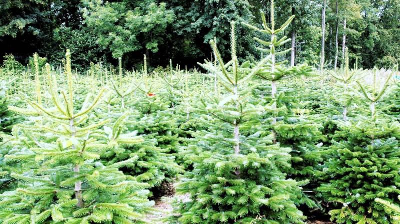 Eventuelle kogler er deklasserende for juletræer, når de skal sælges. Netop nu er der observeret koglesætning i træer helt ned til 7-10 årsalderen. Årsagen skal formentlig findes i den tørke, som vi oplevede i 2018, hvor træerne er blevet stressede, vurderer man hos Skovdyrkerforeningen Syd. Arkivfoto