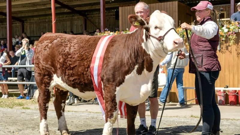 Både kvæg, heste og mange andre husdyr kommer til Herning. Her er det bedste interbreed hundyr, som sidste år gik til en hereford-ko fra Bent Sørensen, Hovedgård. Herefordracen kan i år fejre 50 års jubilæum med ekstra mange dyr på pladsen. Arkivfoto