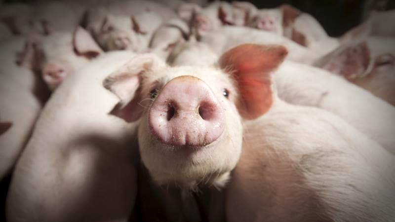 Fremtidens svineproducent får mulighed for at øge sin indtjening samtidig med at han producerer grise på en mere miljørigtig måde.