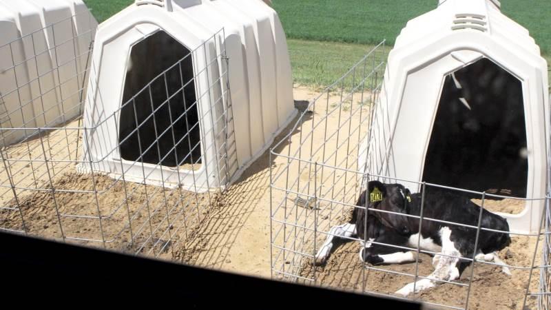 Det er et KO-krav i samtlige EU-lande, at kalve under otte uger ikke må opstaldes i bokse, uden at de har mulighed for at se og røre hinanden, for eksempel således som her i forgårde til kalveboksene. (Arkivfoto)