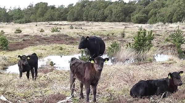 - Normalt er køer gode og fede, når de kommer hjem efter at have gået ude på marken. Sådan er det ikke med naturpleje. Der skal kvæget hjem til gården bagefter og gå på vores ganske almindelige landbrugsjord og have en ordentlig gang ekstra foder, siger Michal Baun.