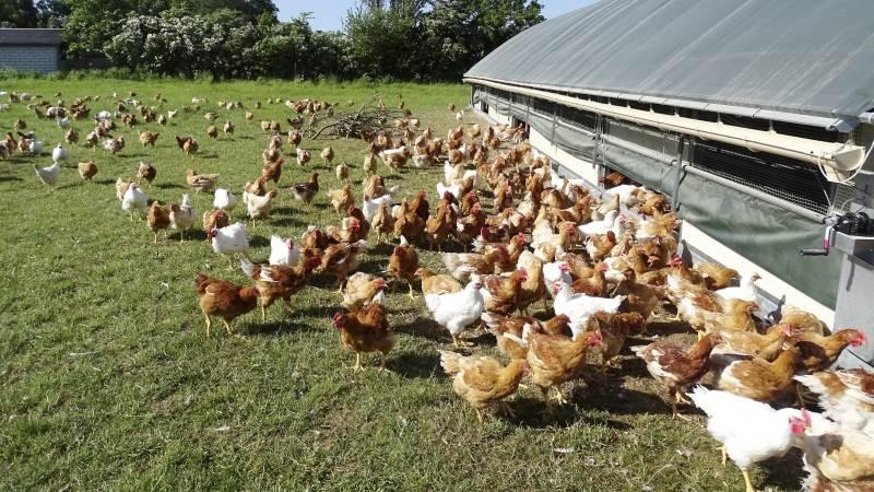 De mobile kyllingehuse på Dalbakkegaard er forsynet med meder, så de kan flyttes rundt på markerne, så kyllingerne hele tiden har adgang til frisk græs.