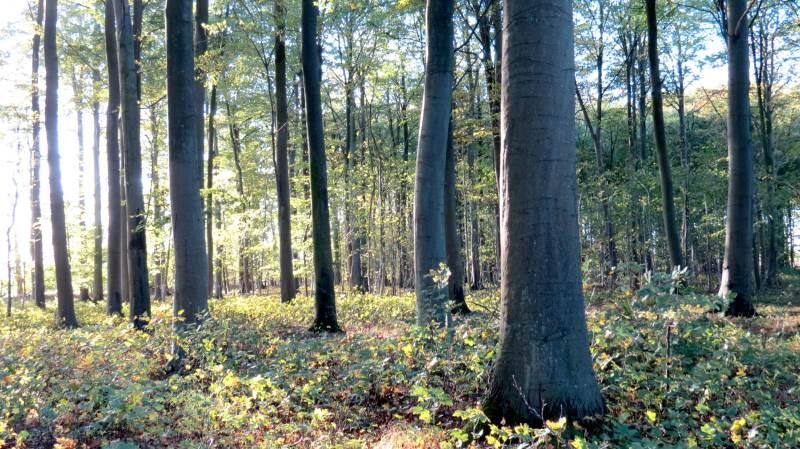 Der er udsigt til større skovarealer i Danmark de kommende år, blandt andet takket være tilskud til privat skovrejsning. Foto: Colourbox