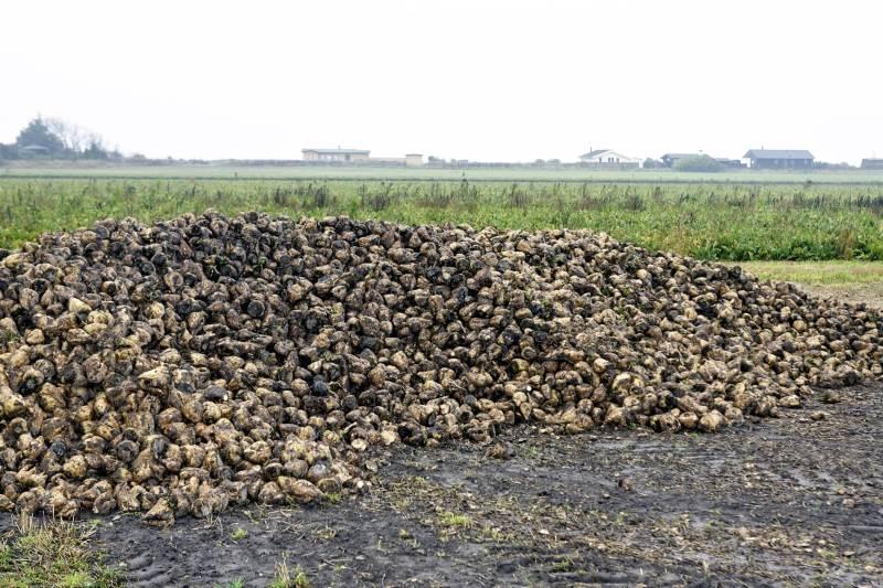 Flere sukkerroedyrkere har tidligere betalt for meget i afgift og har derfor penge til gode. Arkivfoto: Erik Hansen