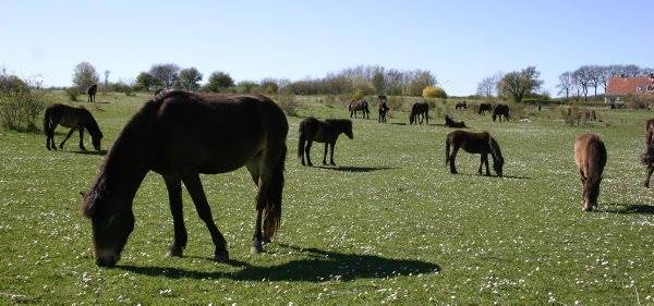 De vilde heste på Sydlangeland afgræsser et 110 hektar stort område. Hestene opfylder en vigtig funktion som landskabsplejere ved at fremme og vedligeholde overdrev, der er en truet naturtype, som kræver et lysåbent landskab.