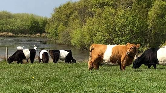 Køer og kalve er efter ulveangrebet hentet hjem til gården og græsser nu på en mark i nærheden af ejendommen.