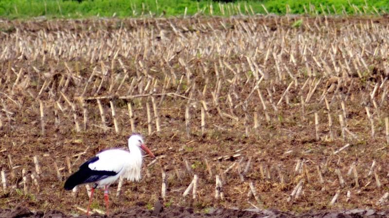 En af de første dage i maj gik en stork på en mark ved Oregaard på Nordfyn. Foto: Stig Benzon