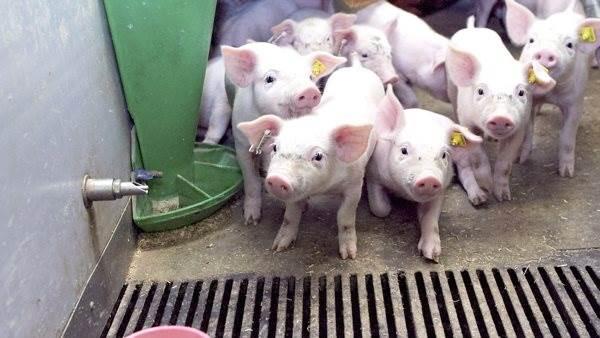 Dagens tema er »Kan man fodre sig til større nyfødte grise, og kan man fodre sig til større fravænnede grise?«, når Porcus Svinefagdyrlæger inviterer til stormøde i forbindelse med »Fokus 35 Vital-konceptet« onsdag den 17. juni. Arkivfoto