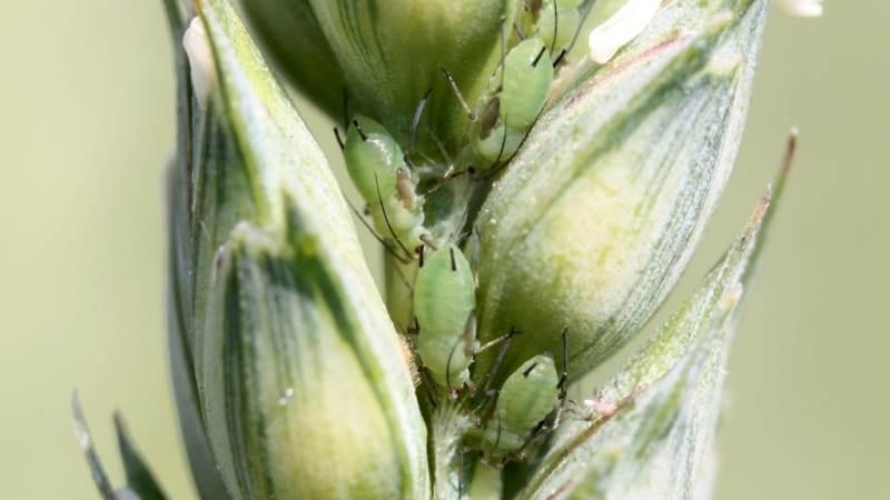 Den vejledende bekæmpelsestærskel for bladlus er 40 procent angrebne strå frem til og med vækststadium 73, og der er kun fundet op til 10 procent angrebne strå. Foto: Ghita Cordsen Nielsen, Seges
