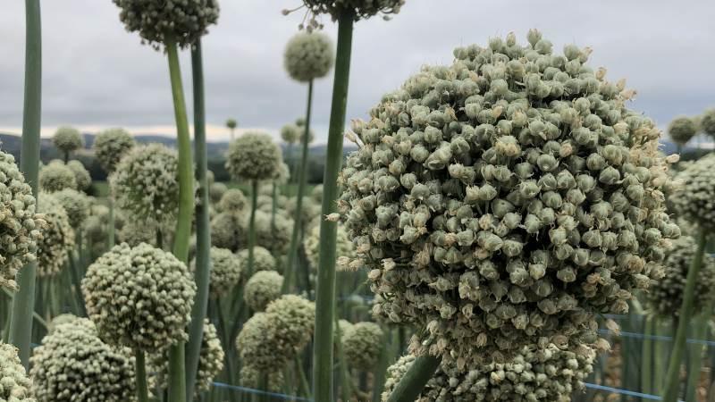 Det franske klima er velegnet til frøproduktion af eksempelvis løg og andre afgrøder. det får Jensen Seeds nu gavn af via opkløbet af franske Astera Seed.