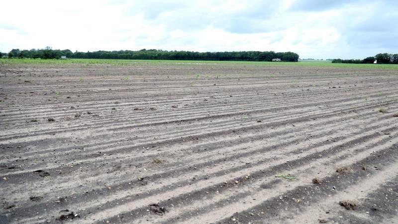Markerne hos Flemming Høi ved Kalvslund er blevet ribbet af store flokke af råger. Omkring halvdelen af en enkelt mark er spist op. Flemming Høi har sået om ved midsommer, men rågerne kom tilbage, og nu ligger marken nærmest øde hen.