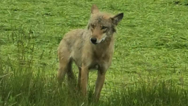 Det er denne ulv, der er blevet fotograferet i Sønderjylland tidligere på sommeren. Foto: Simon Muusmann Lykou via ulveatlas.dk