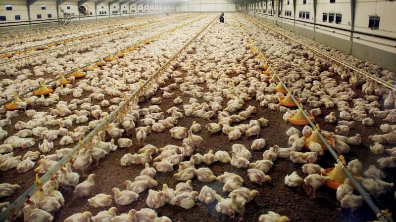 Antallet af registrerede campylobacterinfektioner er steget næsten en femtedel i 2019. Mange af udbruddene skyldes kyllingekød, fremgår det af en ny rapport. Arkivfoto