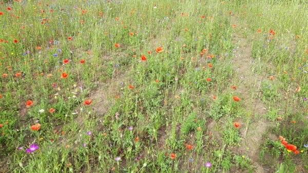 Velas har her i sommer afprøvet otte forskellige frøblandinger til blomsterstriber. Her er det en vildteng med frø fra DLF. Foto: Velas