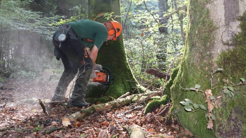 Skovning af løvtræ i efteråret kan være en god mulighed for skovejere, lyder det fra skovfoged.